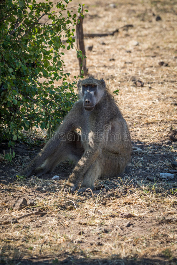 Chacma baboon sitting on ground by bush royalty free stock photos
