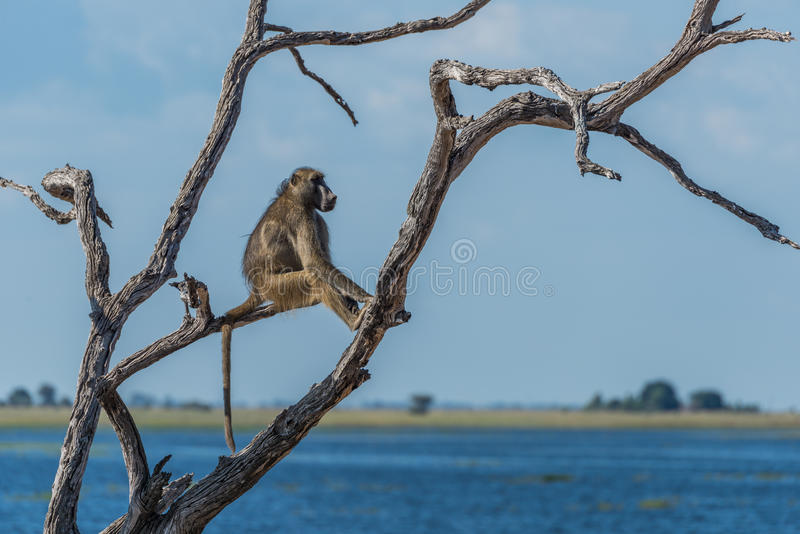 Chacma baboon sitting by river in tree royalty free stock photography