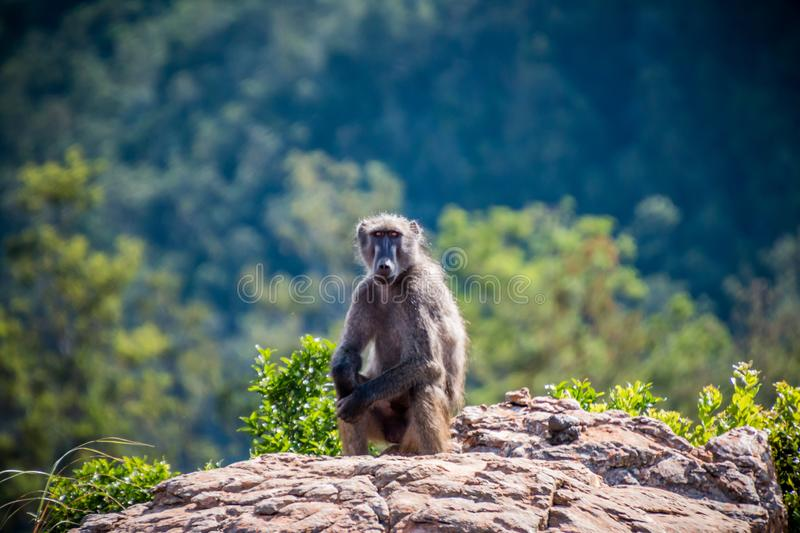 Chacma baboon sitting on a rock royalty free stock photos