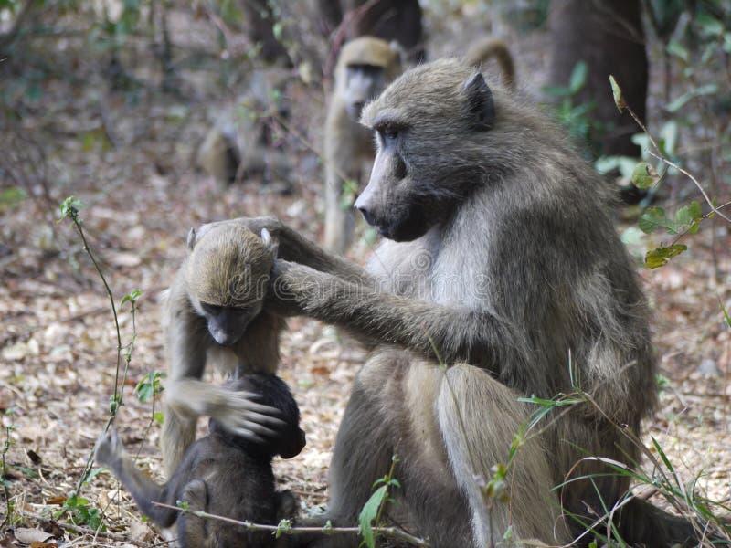 Chacma baboons royaltyfri foto