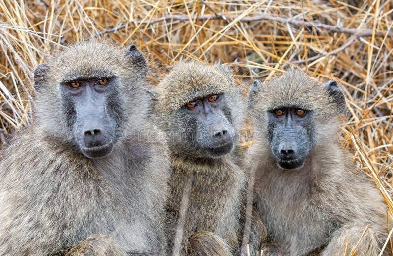 Chacma baboons royaltyfria bilder