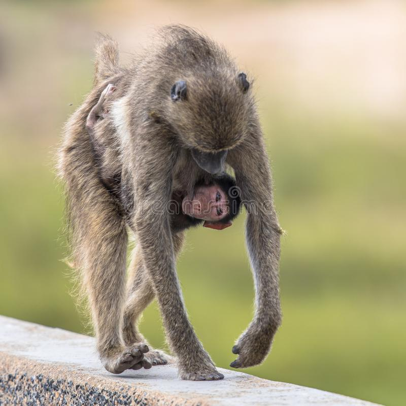 Chacma baboons family royalty free stock photography