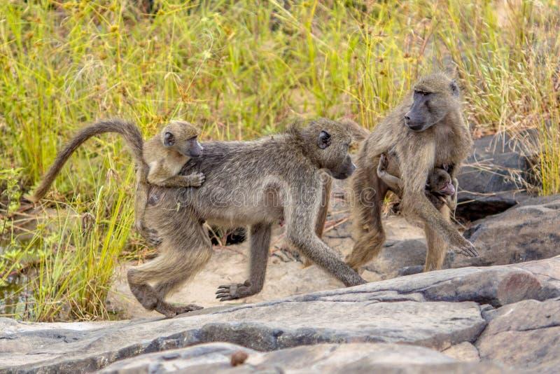 Chacma baboons family stock image