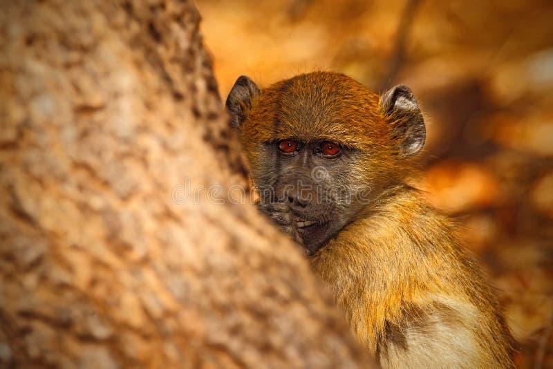 Chacmabaviaan, Papio-hamadryasursinus, portret van aap in de aardhabitat, Victoria Falls, Zambezi Rivier, Zimbabwe stock foto's