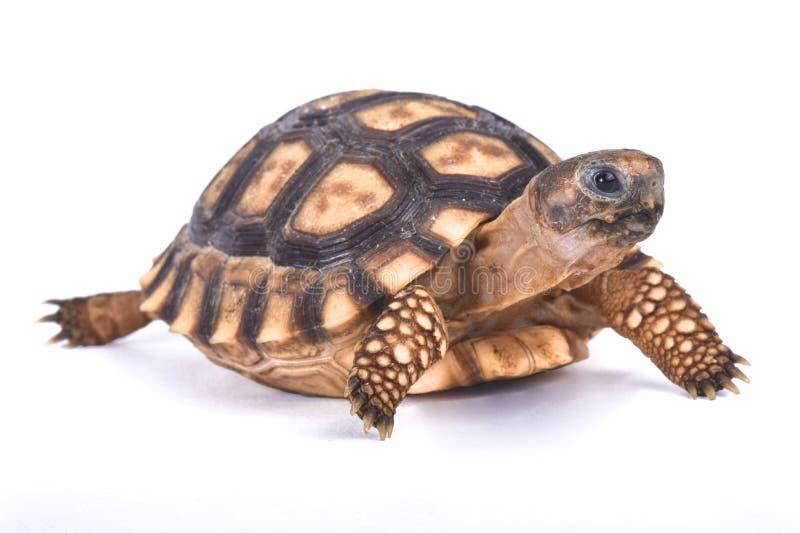 Chaco sköldpadda, Chelonoidis chilensis royaltyfria bilder