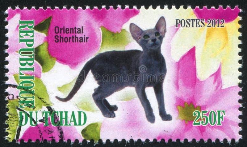 Oriental shorthair cat stock photography