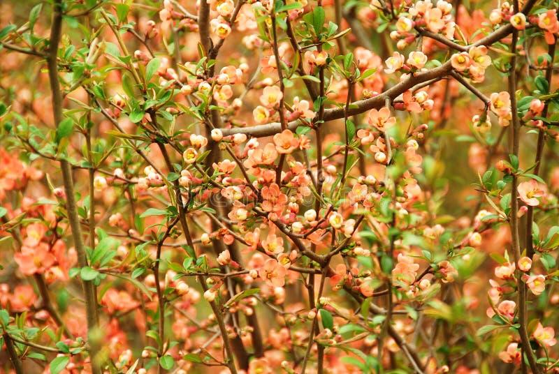 chaenomeles开花的日本japonica柑橘 免版税库存图片