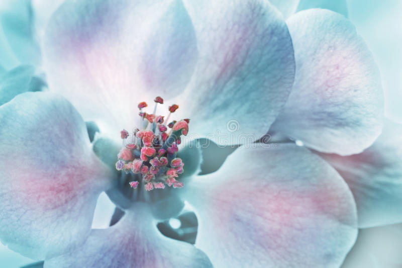 chaenomeles花japonica 库存图片