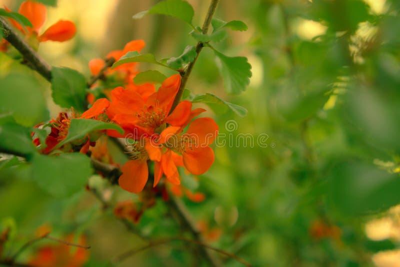Chaenomeles de florescência alaranjado vermelho do arbusto imagens de stock