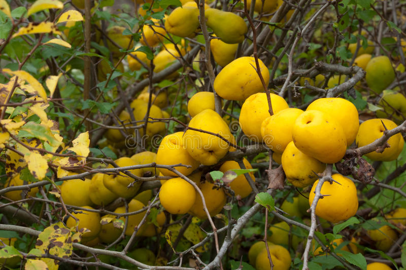 Chaenomeles japonica. With fruits in autumn stock photos