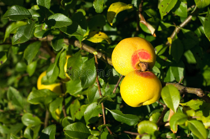 Chaenomeles japonica. On the branch stock images