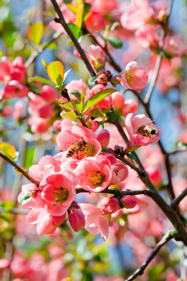 Download Chaenomeles Japonica Stock Images - Image: 24270124