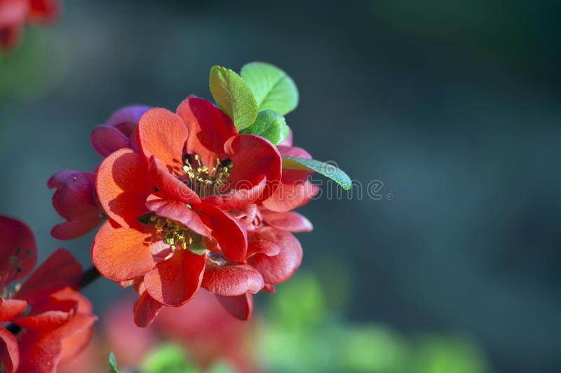 Chaenomeles japonica branch in red bloom royalty free stock images