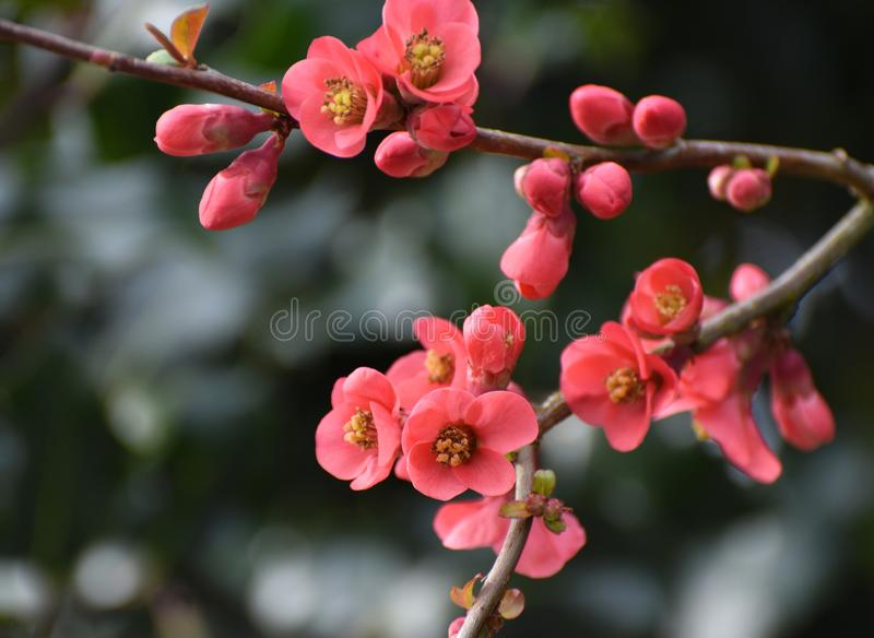 CHAENOMELES JAPONICA / JAPANESE MAULE`S QUINCE TREE. A flowering Japanese Quince tree in early Spring with vibrant pink flowers / blossoms stock photo