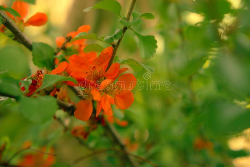 Chaenomeles orange rouge d'arbuste fleurissant images stock