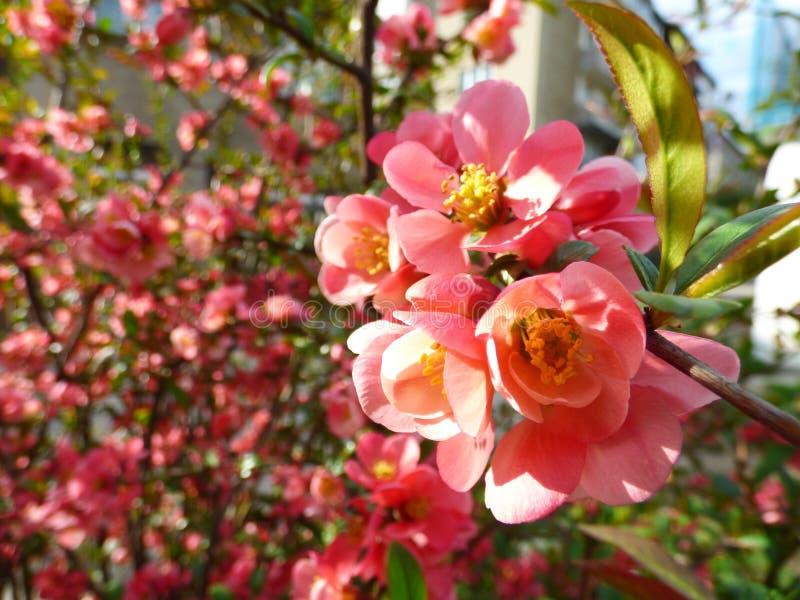 Chaenomelesjaponica, japansk kvitten, träd arkivfoton