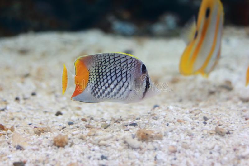 Chaetodon or butterflyfish. Chaetodon is a tropical fish genus in the family Chaetodontidae. Like their relatives, they are known as butterflyfish stock photo