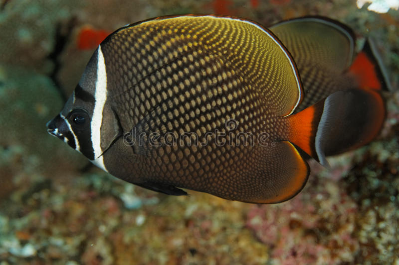 Chaetodon collare - Andaman Sea royalty free stock images