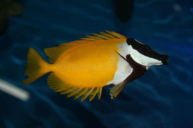 Chaetodon, exotic fish. Chaetodon, the exotic tropical fish royalty free stock photo