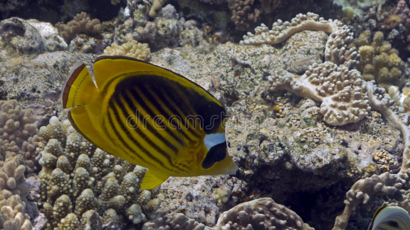 Chaetodon fasciatus. Or Diagonal butterflyfish in the Red Sea stock image