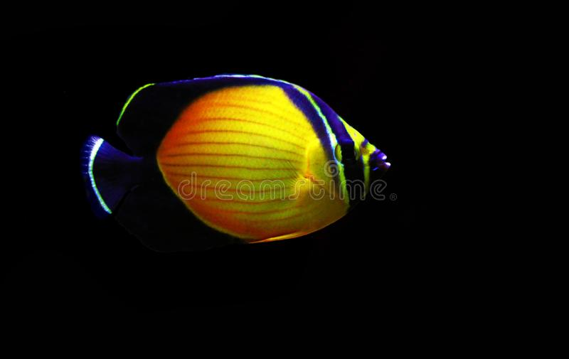 The Arabian Butterfly fish - Chaetodon melapterus. Chaetodon melapterus, the Arabian butterflyfish, blackfin butterflyfish, or black-finned melon butterflyfish royalty free stock image
