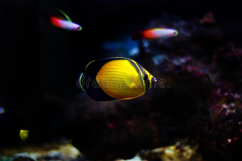 The Arabian Butterfly fish - Chaetodon melapterus. Chaetodon melapterus, the Arabian butterflyfish, blackfin butterflyfish, or black-finned melon butterflyfish stock photos