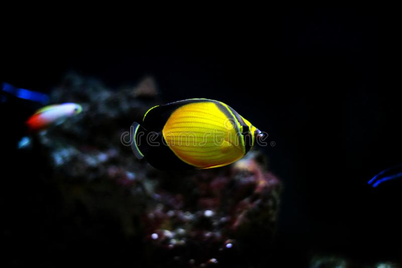 The Arabian Butterfly fish - Chaetodon melapterus. Chaetodon melapterus, the Arabian butterflyfish, blackfin butterflyfish, or black-finned melon butterflyfish royalty free stock images