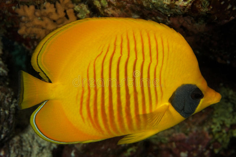 Chaetodon semilarvatus - Red Sea royalty free stock photo