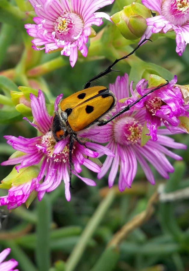 Chafer ściga na purpurowych kwiatach zdjęcia royalty free