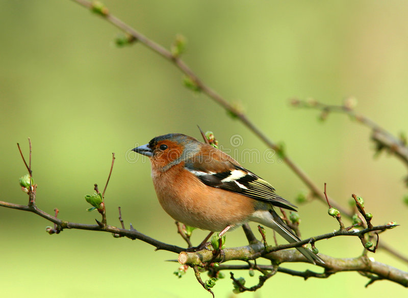The Chaffinch. Chaffinch sitting on the branch of a hawthorn tree in spring royalty free stock photo