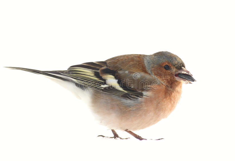 Download Chaffinch stock photo. Image of white, seed, close, bird - 13178256