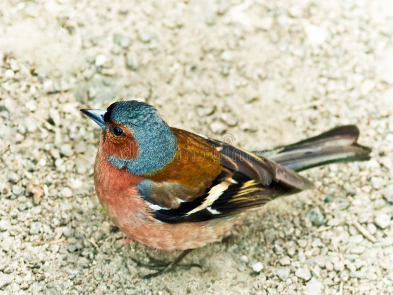 Download Chaffinch. stock image. Image of wary, nuptial, watching - 16285735