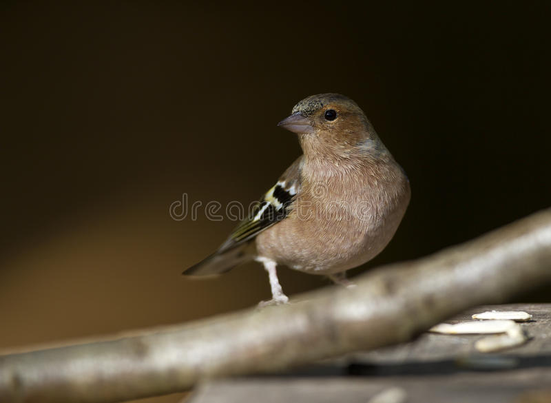 Chaffinch photos stock