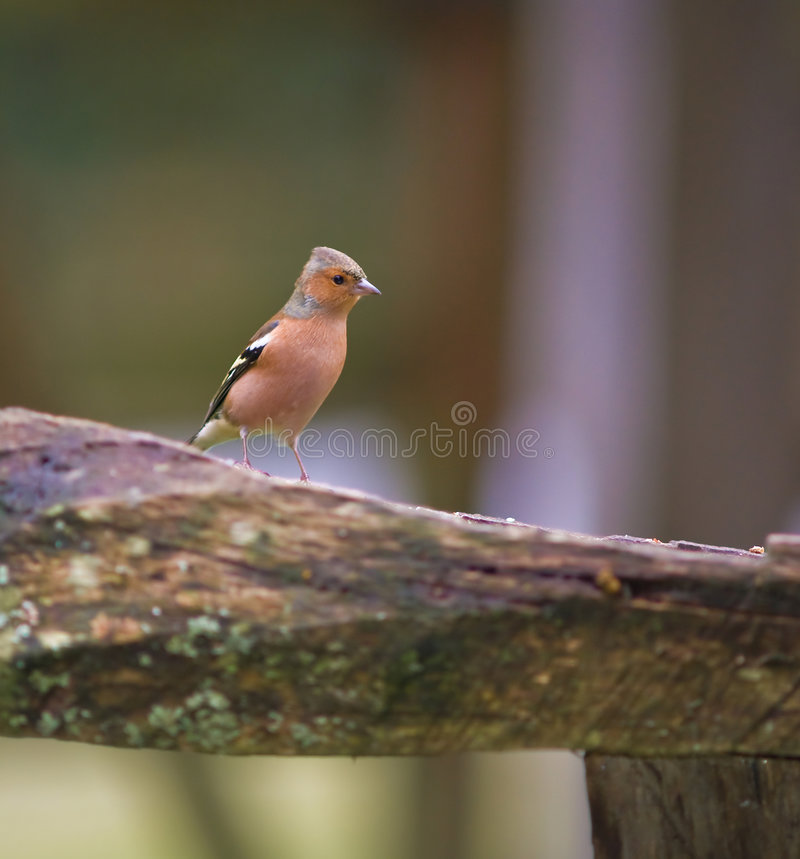 Chaffinch images stock