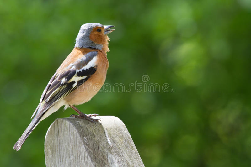 chaffinch royalty-vrije stock foto