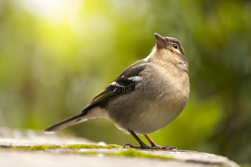 Download Chaffinch Bird Looking Up stock image. Image of nature - 80672433