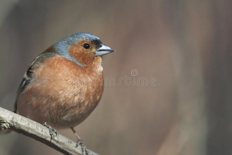 Chaffinch On Branch Royalty Free Stock Photos