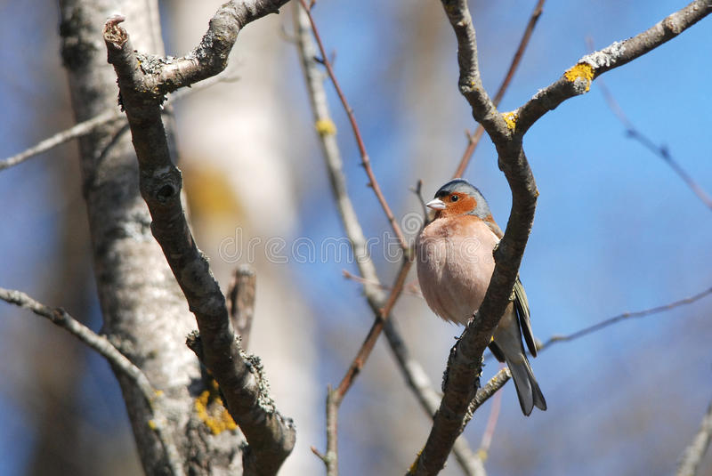 Chaffinch. Common chaffinch sitting on a branch royalty free stock images