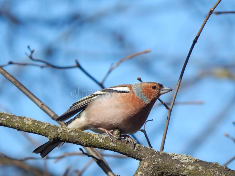 Chaffinch on branch Minsk, Belarus stock photography