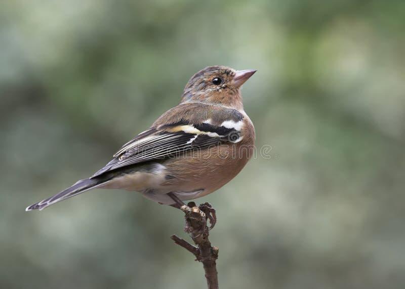 Chaffinch - coelebs de Fringilla images libres de droits