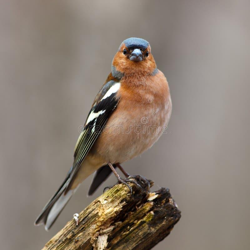 Chaffinch (coelebs de Fringilla), mâle images stock