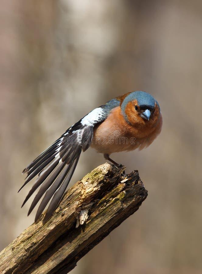 Chaffinch (coelebs de Fringilla), mâle photographie stock libre de droits