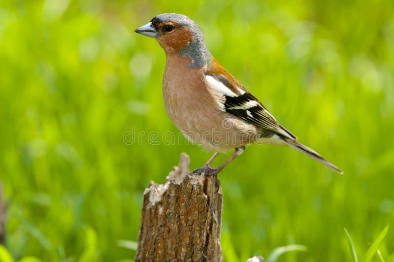 Chaffinch comune (coelebs del Fringilla) fotografie stock libere da diritti