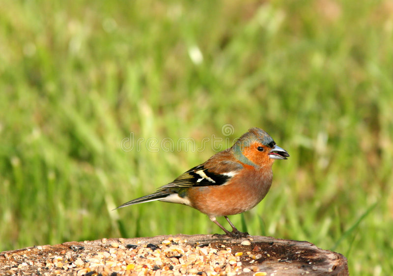 Download Chaffinch Feeding stock image. Image of danger, feeding - 458181