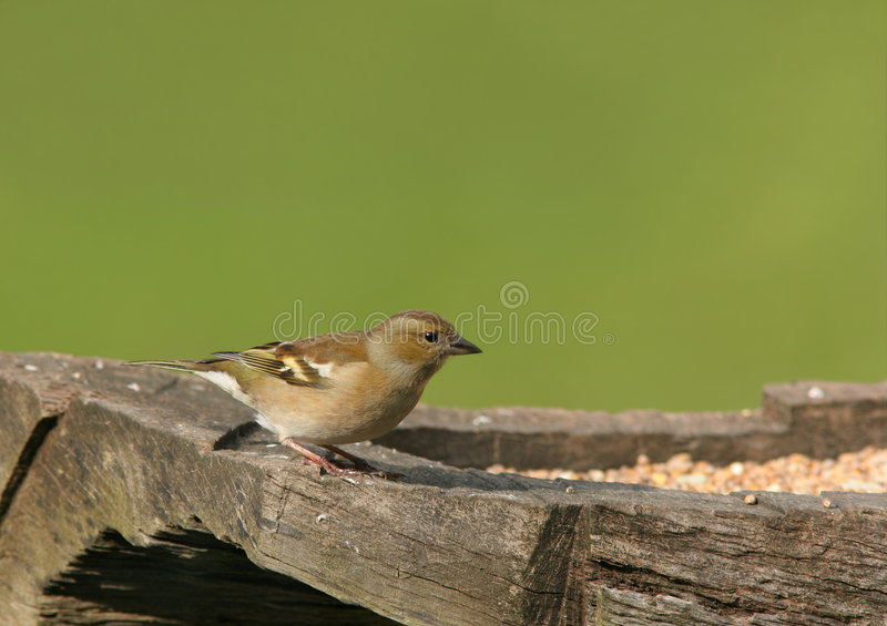 Chaffinch femelle photographie stock