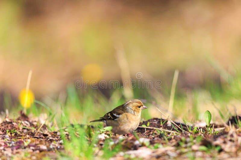 Chaffinch femenino en la tierra fotografía de archivo