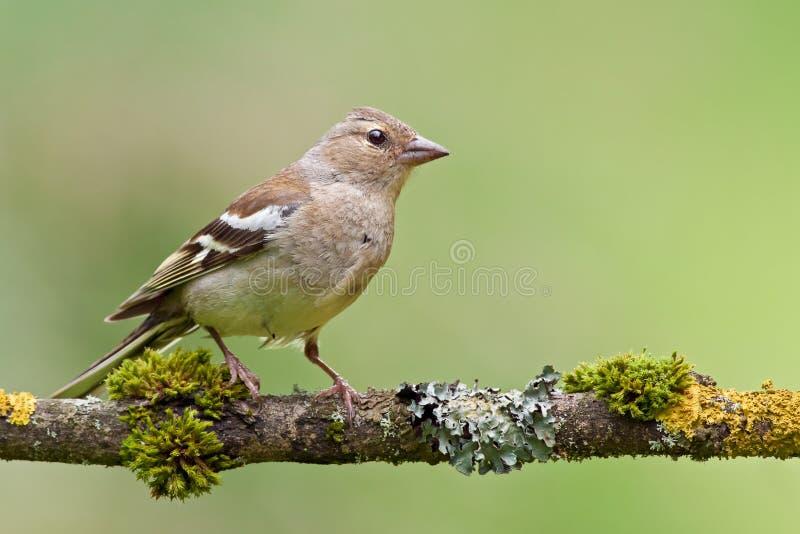 Chaffinch femminile (coelebs del Fringilla) fotografia stock libera da diritti