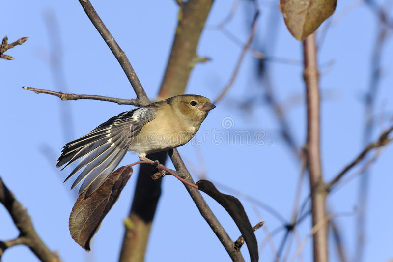 Download Chaffinch, Fringilla Coelebs Stock Image - Image: 16733773