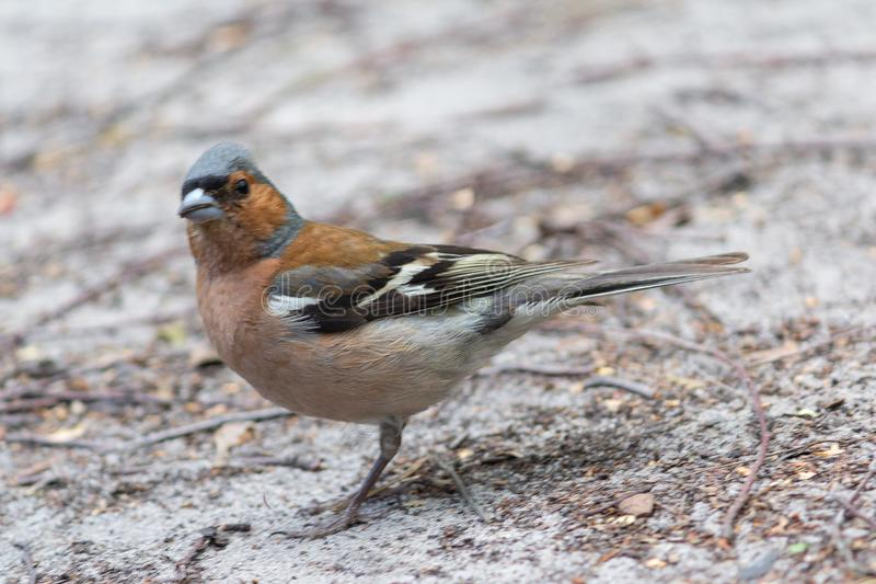 Chaffinch Fringilla coelebs, on the ground. Birds royalty free stock photos