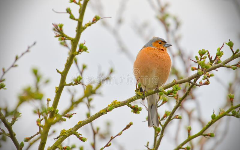 Chaffinch-fringilla coelebs looking for food royalty free stock image